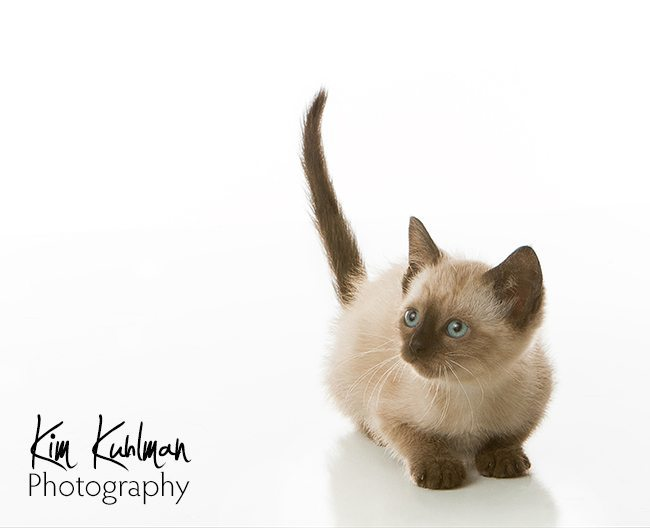 Siamese Kitten Bryan Animal Center Rescue Certified Professional Photographer